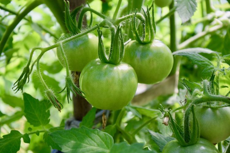 Farm Close-up Food Food And Drink Freshness Fruit Green Color Growth Healthy Eating Nature No People Organic Outdoors Plant Ripe Tomato Unripe Vegetable Wellbeing