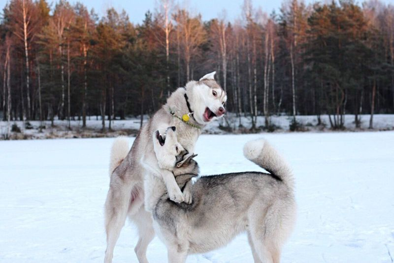 Sled dogs playing while standing on snow covered field
