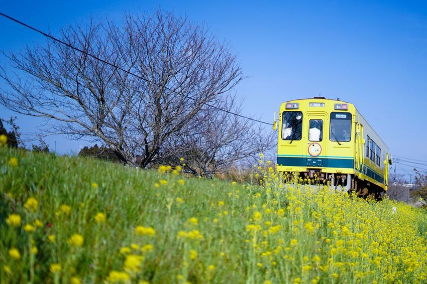 Isumi railway, Location : Chiba prefecture, Japan EyeEm Nature Lover EyeEmNewHere EyeEm Best Shots EyeEmBestPics Wallpaper Japan Photography Japan Plant Flower Yellow Sky Flowering Plant Nature Field Transportation Agriculture Landscape Clear Sky Mode Of Transportation No People Blue Day