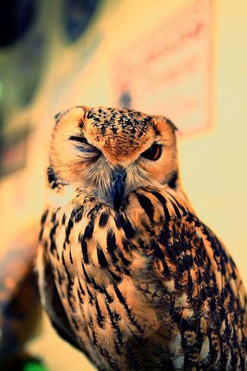 フクロウ との 睨み合い