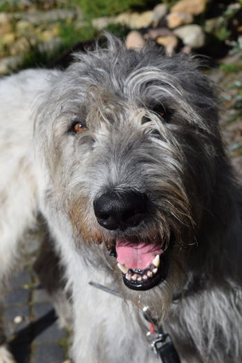 Portrait Looking At Camera Dogslife Irish Wolfhound Cearnaigh Dogs Of Spring Dogwalk Animal Themes Looking At Camera Outdoors Close-up Dogs Of EyeEm Dog Of The Day Spring 2017 March 2017 Bokeh In My Garden From My Point Of View Focus On Foreground Sunlight Animal Head