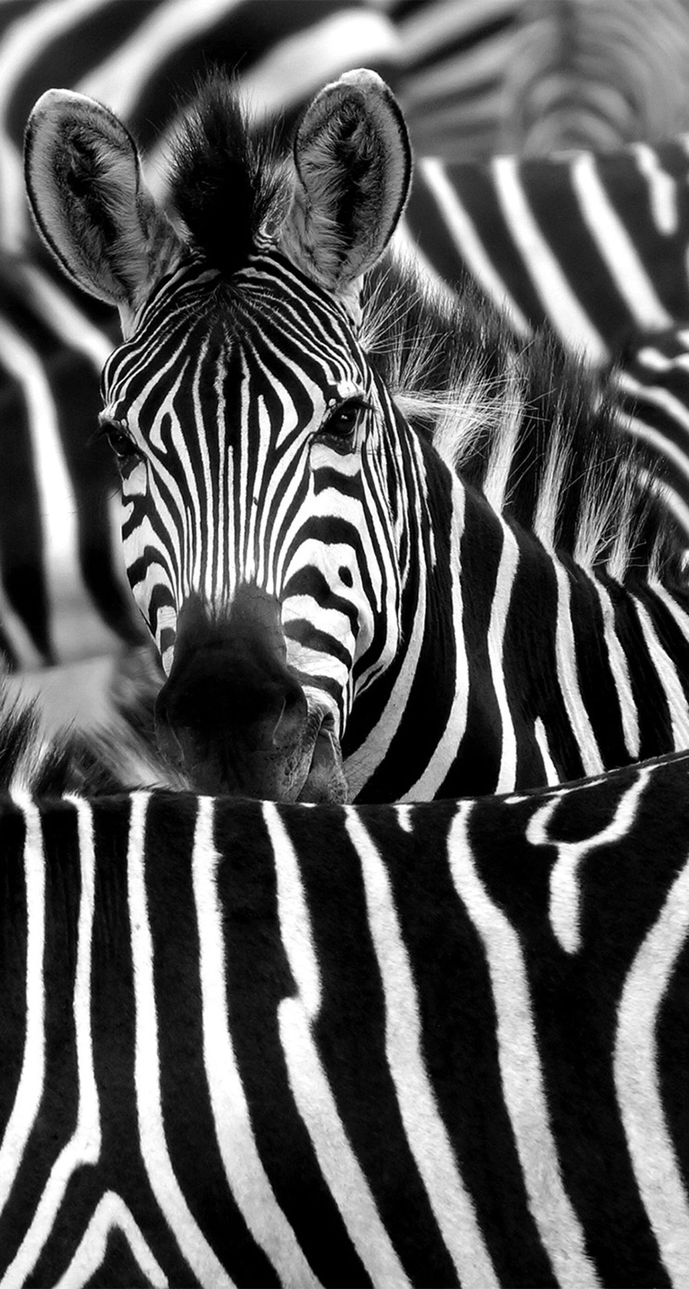 animal themes, one animal, striped, mammal, animal markings, zebra, pattern, natural pattern, wildlife, close-up, safari animals, animal body part, animal head, animals in the wild, relaxation, tiger, lying down, no people, indoors, domestic animals