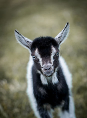 Agriculture Animal Themes Animal Wildlife Animals In The Wild Black And White Blue Eyes Cattle Breeding Close-up Cute Day Domestic Animals Farm Farm Life Field Focus On Foreground Goat Latvia Looking At Camera Mammal Nature No People One Animal Outdoors Portrait Yeanling