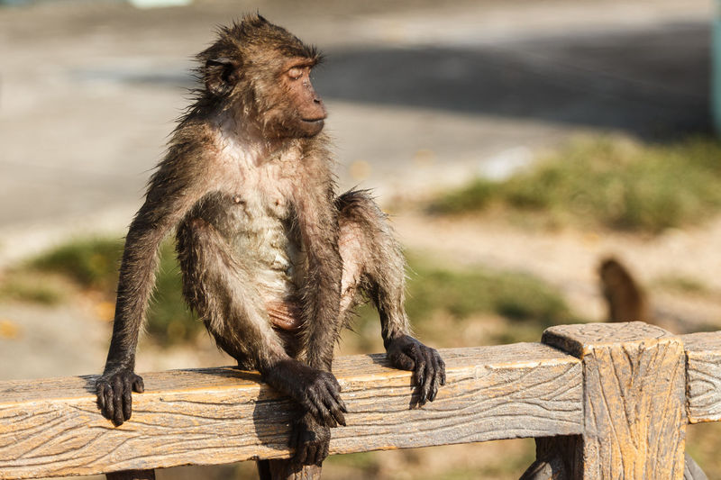 Wet long-tailed macaque sitting on wooden railing in zoo