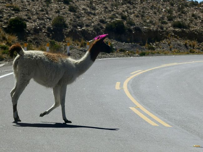 Road Animals In The Wild Animal Wildlife Outdoors Tree Animal Themes Day No People Bird Nature Mammal EyeEmNewHere Perù 🇵🇪 Peru Beauty In Nature Travel Destinations Animals In The Wild