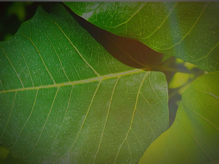 Leaf Leaf Vein Green Color Close-up Full Frame Backgrounds Freshness Outdoors Beauty In Nature Positive Thinking Positive Life Positive Thinking💯 Success Stories Alive  Alive Nature Alive Statues Eyeem Background ใ บ โ พ ธิ์ สี เ ขี ย ว