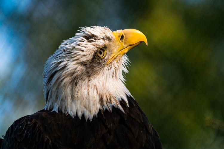 Close-up of bald eagle