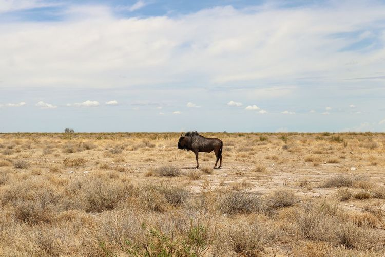 Wildebeest on grassy field against cloudy sky