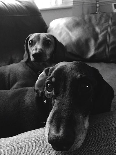 I Love My Dog Close-up Relaxation Togetherness Blackandwhite Daschund or Doxie either way these 2 are Gorgeous 😍