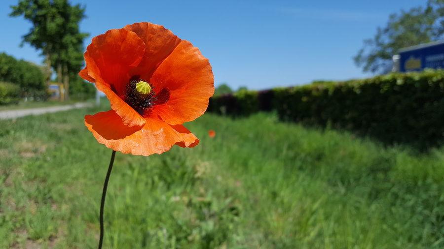 Close-up of orange poppy on field