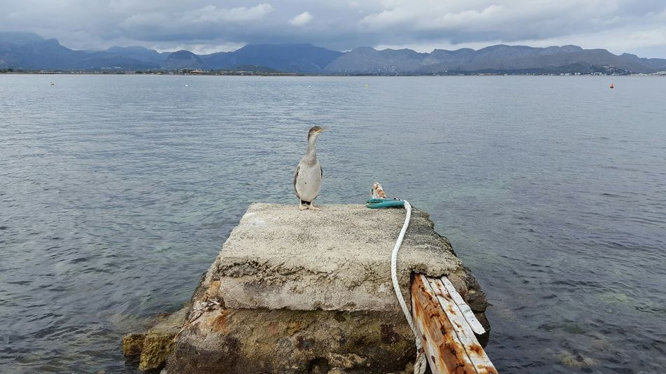 Cormorant  Kormoran Bird Nature Sea Sea And Sky Rock Mountains Cloudy Day Mallorca Rope Wood Water Bay Clouds