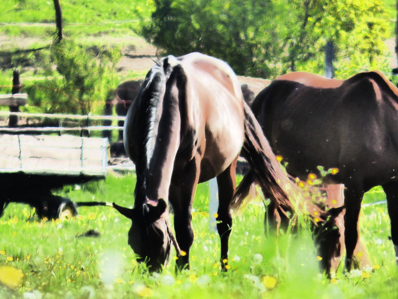 horse, domestic animals, animal themes, mammal, grass, field, livestock, herbivorous, grazing, day, paddock, outdoors, no people, tree, foal, nature, standing