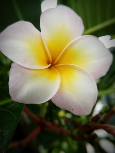 Beauty In Nature Close-up Day Flower Flower Head Flowering Plant Frangipani Freshness No People Outdoors Plant White Color Yellow