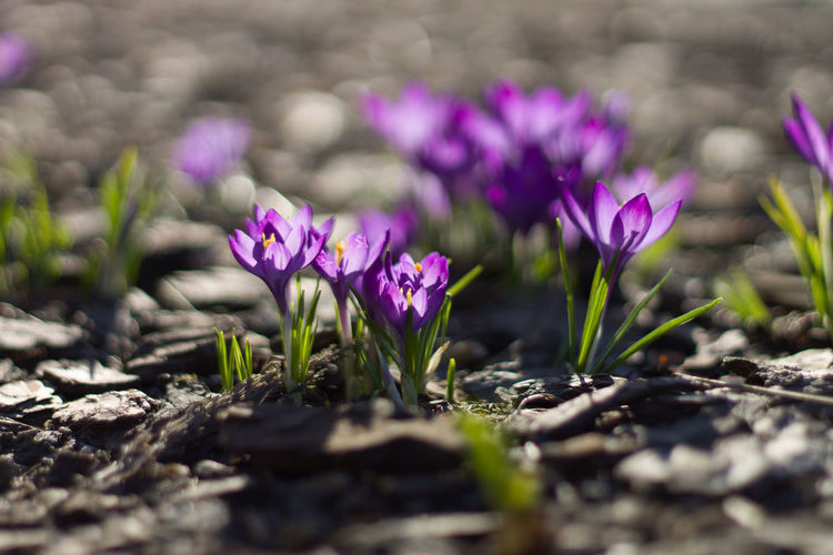 Blurred Background Sunshine Sunlight Light And Shadow Crocus Flower Head Crocus Flower Botanical Garden Closing Pink Color Sunlight Shadow Purple Social Issues Flowering Plant Blossom In Bloom Plant Life Botany