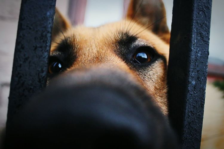 Dog One Animal Pets Eye Close-up Domestic Animals Day Mammal Looking At Camera German Shepherd Portrait Outdoors No People Animal Themes Sky