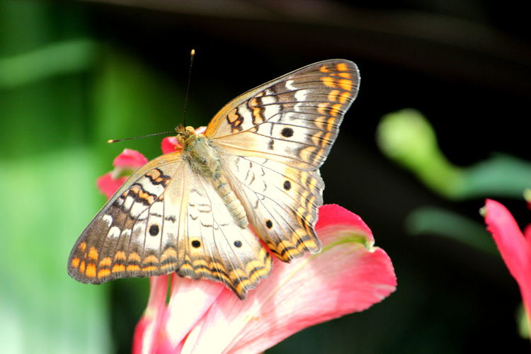 Animal Animal Body Part Animal Themes Animal Wildlife Animal Wing Animals In The Wild Beauty In Nature Butterfly Butterfly - Insect Close-up Day Flower Flower Head Flowering Plant Focus On Foreground Fragility Insect Invertebrate Nature No People One Animal Outdoors Plant Pollination