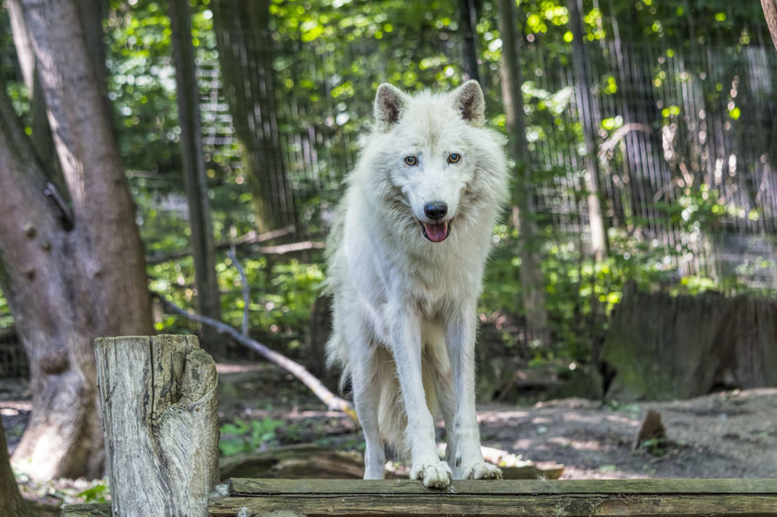 Arctic wolf Animal Animal Photography Animal Themes Animal Wildlife Animals Animals In The Wild Arctic Wolf Mammal Nature White Color Wild Wildlife Wildlife & Nature Wildlife Photography Wolf Zoo Zoo Animals  Zoology Zoophotography