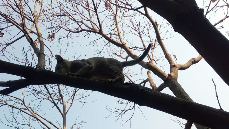 Tree Branch Animal Themes One Animal Low Angle View Mammal Bare Tree Animals In The Wild Nature Day Sky No People Outdoors Full Length Cat Cat Climbing Cat Climbing A Tree Pet Pet Photography  Pets Corner Cats Of EyeEm Cats Tree Trunk Animal Nature Pet Portraits