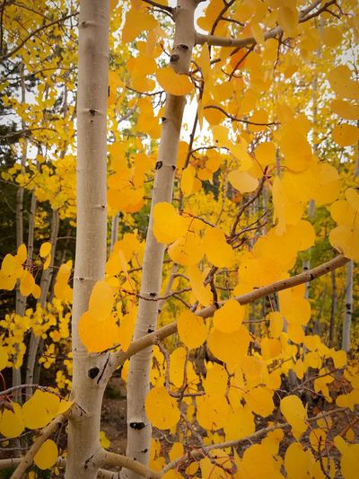 Yellow Leaves🌿 Tree Nature Outdoors Aspen Trees