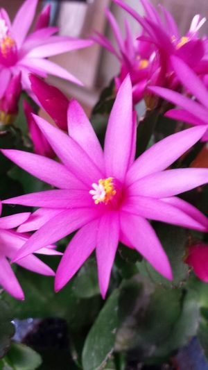 Christmas Cactus Flowers Pink Color Pink Flower No People Beauty In Nature Close-up Fragility Selective Focus Petal Growth Flower Head Focus On Foreground Green Color Vibrant Color