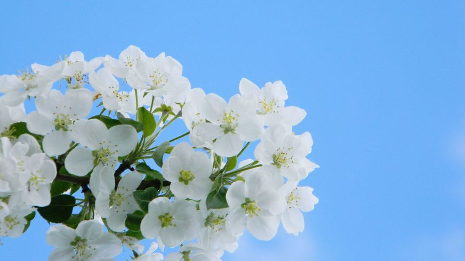 apple tree white flowers Whire Nature Flower Head Flower Clear Sky Bouquet Springtime Blue Petal Blossom White Color Close-up Apple Blossom Fruit Tree Apple Tree Plant Life