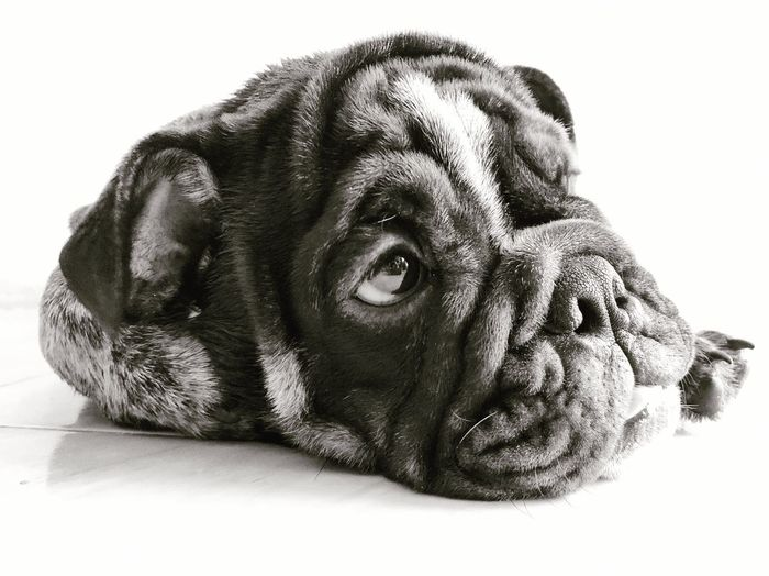 Bulldog One Animal Animal Themes Mammal Animal Dog Pets