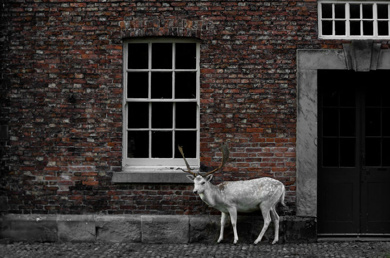 A lone deer stands by a red-bricked stable at dunham massey park, uk.
