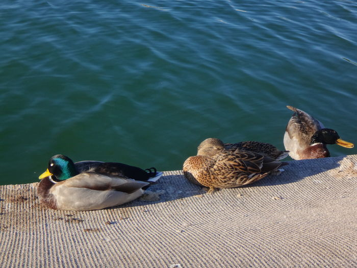 View Of Ducks By Water
