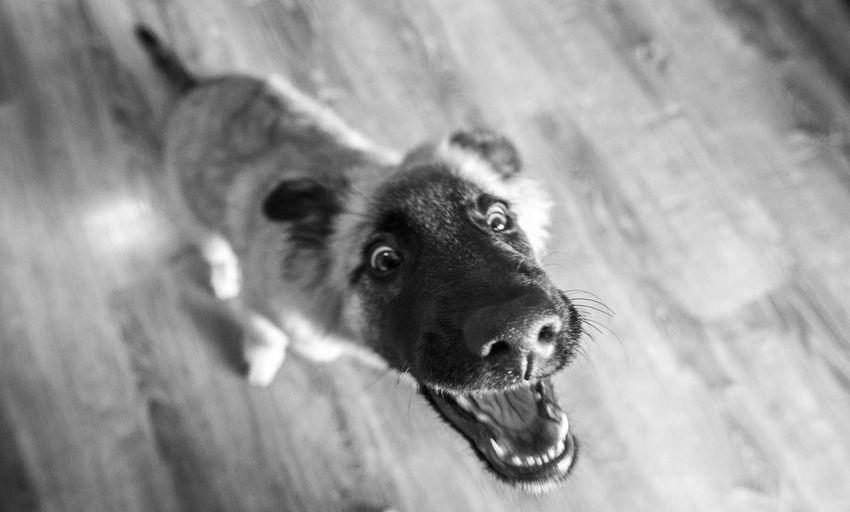 Dog Pets One Animal Domestic Animals Portrait Mastin Malinois Pastor Belga Bn Love Baby Brown Playing