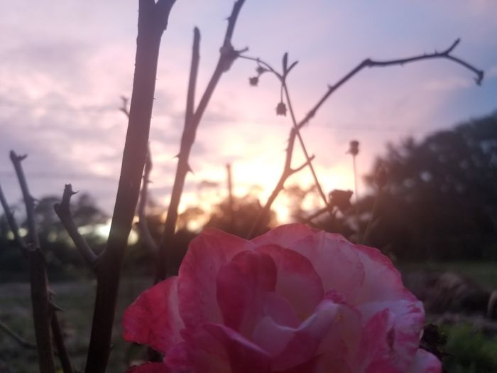 never happened Flower Head Flower Sunset Rural Scene Pink Color Petal Red Uncultivated Sunlight Defocused Plant Life Wildflower Thorn Bud Dew