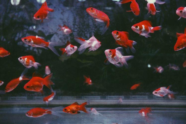 Close-Up Of Goldfish Swimming In Aquarium