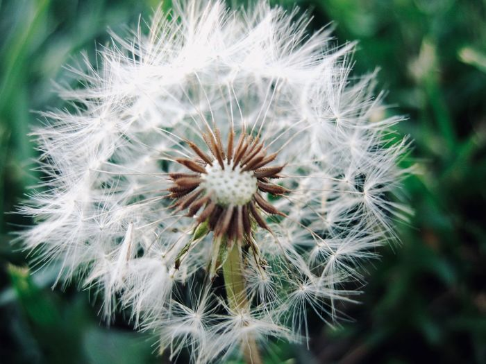 Dandelion seed Flower Fragility Flowering Plant Vulnerability  Freshness Plant Close-up