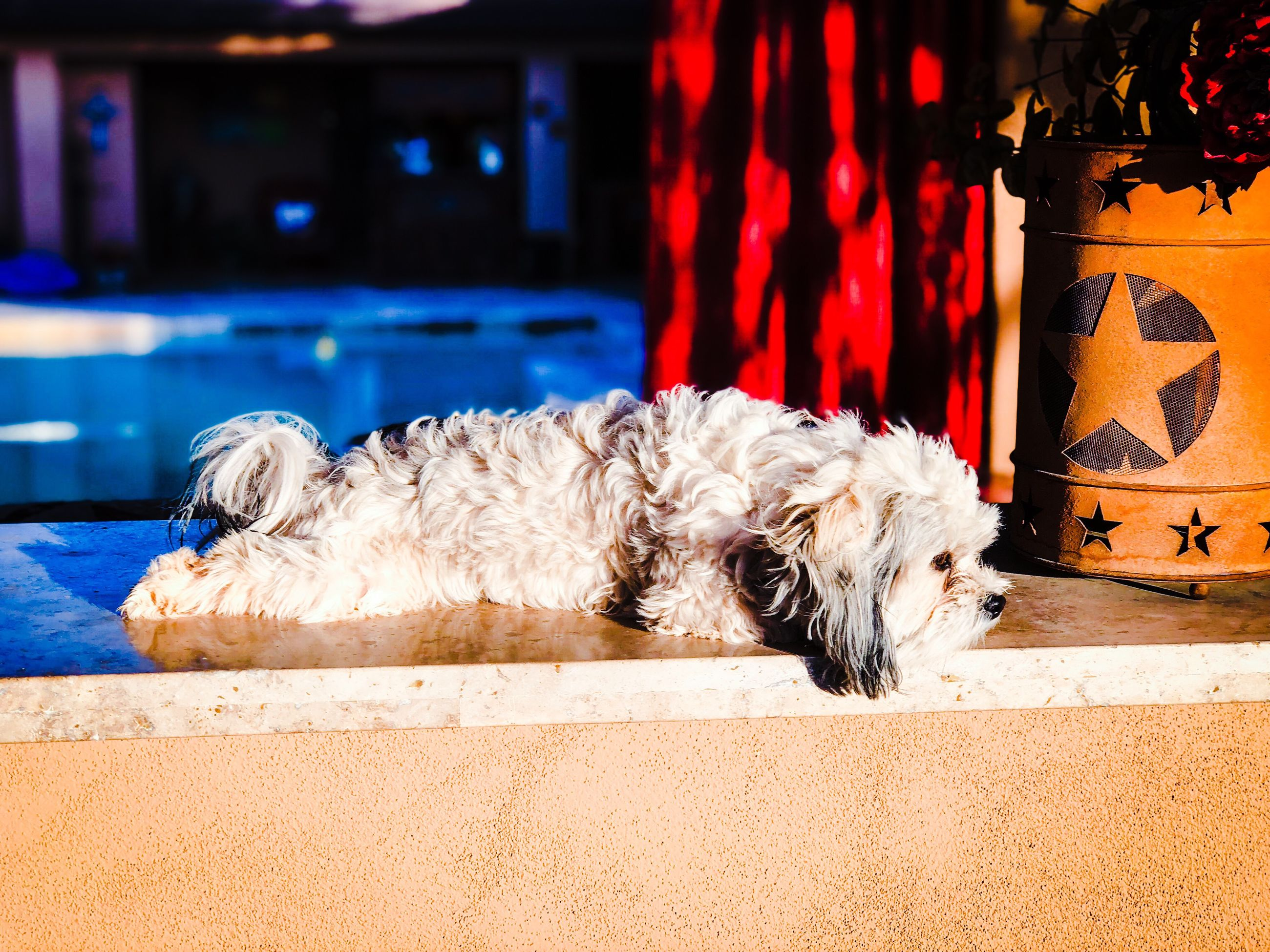 domestic, pets, mammal, domestic animals, one animal, canine, dog, animal themes, animal, animal hair, vertebrate, no people, relaxation, hair, focus on foreground, indoors, resting, sleeping, carpet - decor, lying down, animal head, small