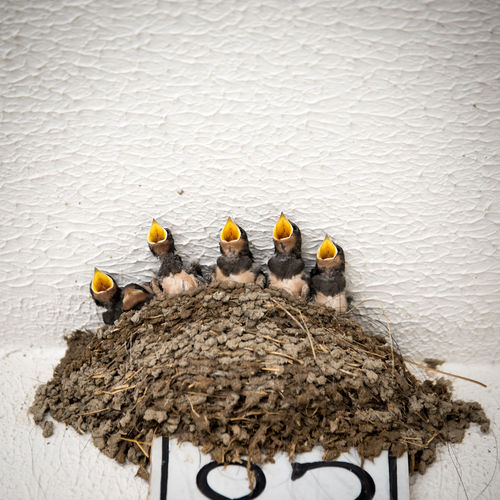 Young Birds In Nest Against Wall