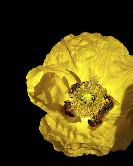 Bees Black Background Flowering Plant Paper Like Flower Pollen Shimmering Yellow