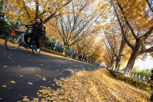 Golden Avenue Autumn colors 母子 Mother And Son On Bikes Ride A Bike  City Street Ginkgo Tree Yangzhou China Street Photography EyeEm China City Life Outdoor Photography