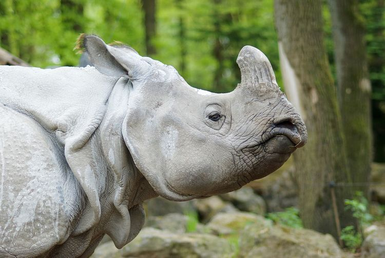 Rhino EyeEm Selects Animal Themes Animal Animal Wildlife One Animal Vertebrate Focus On Foreground Animals In The Wild Close-up Rhinoceros No People Mammal Day Animal Body Part Nature Outdoors Side View Land Animal Head  Tree Looking