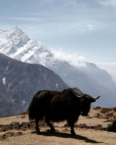View of nak yak on snowcapped mountain against sky