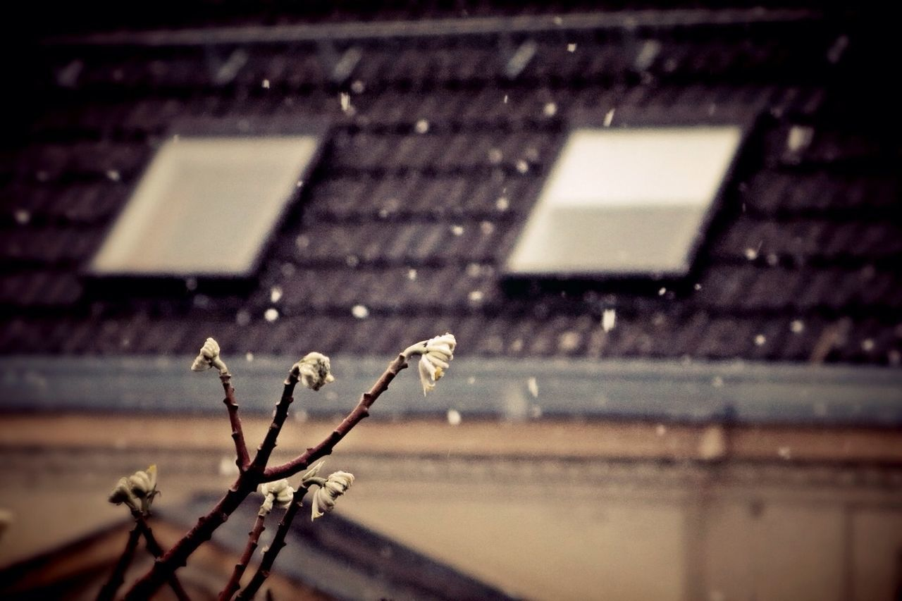 Close-up of plant against house during snowfall