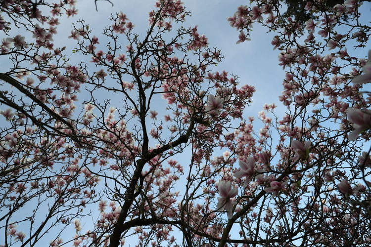 magnolia, Tulpenbaum Magnolia Magnolia Tree Tulpenbaum Backgrounds Beauty In Nature Blossom Branch Cherry Blossom Cherry Tree Day Flower Flowering Plant Fragility Freshness Growth Low Angle View Nature No People Outdoors Plant Sky Spring Springtime Tranquility Tree Vulnerability