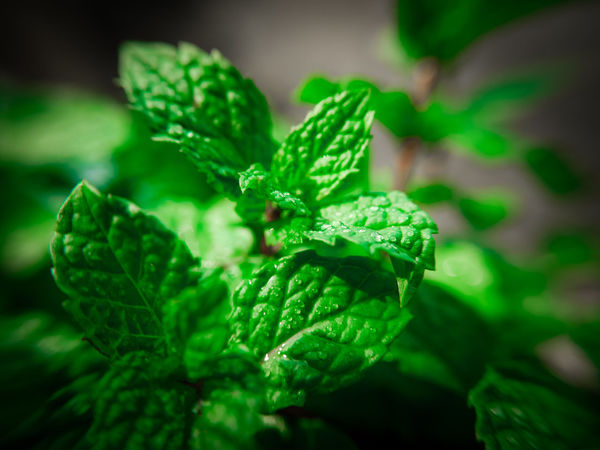 Agriculture Cooking Ingredients Close-up Essential Foliage Food Freshness Garden Green Color Healthy Eating Herb Leaf Mint Mint Leaf - Culinary Nature Oganic  Oil Peppermint Peppermint Plant Plant Plant Part Selective Focus Vegetable Wellbeing