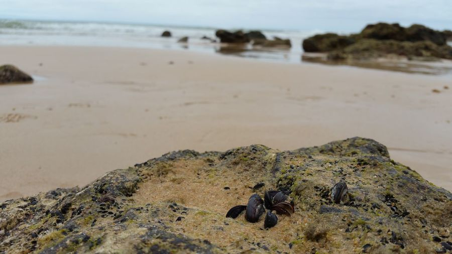 Mussels On Rock At Beach
