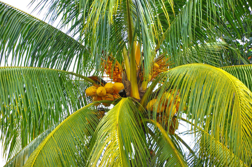 Asian  Background Coconut Coconut Palm Tree Electrolite Fronds Green Leaves Midrib Milk Textures And Surfaces