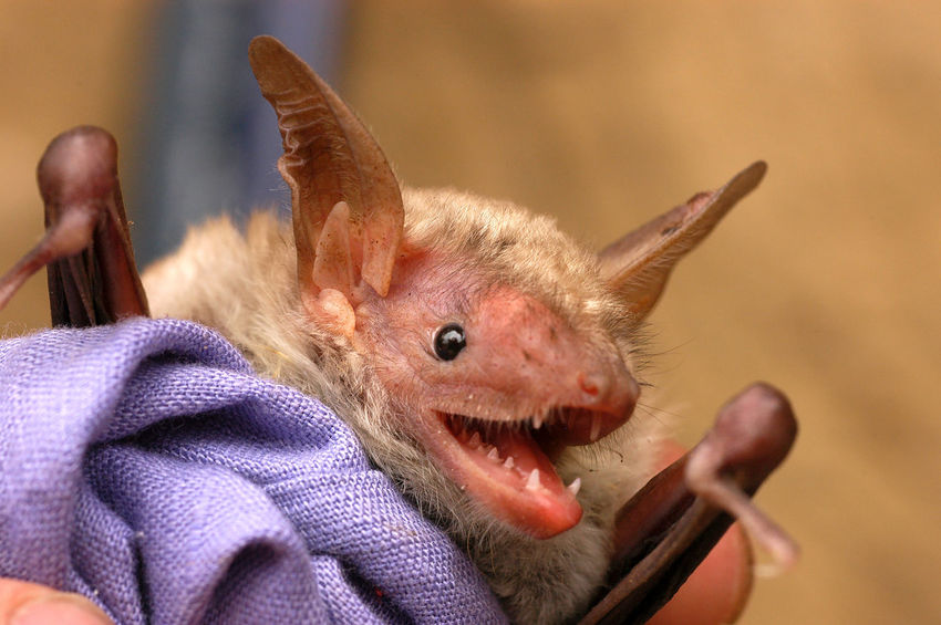 Close up portrait of a bat with long ears Animals In The Wild Bat Chiroptera Mouth Scientist Animal Animal Themes Cave Close-up Creature Ear Holding Human Hand Mammal Mammals Night Nocturnal Nose One Animal Predator Teeth Ultrasound Vampire Wings Zoology