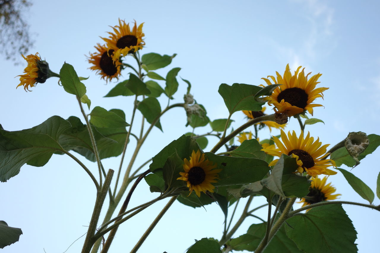 Low Angle View Of Sunflowers Blooming Against Sky