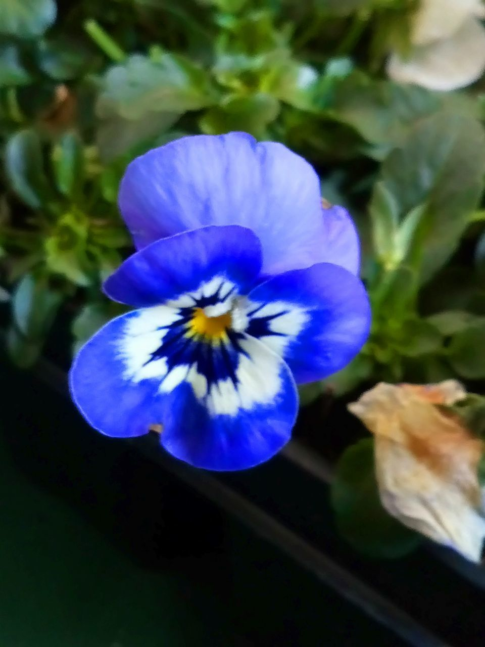 flowering plant, flower, vulnerability, fragility, petal, freshness, plant, beauty in nature, flower head, close-up, growth, inflorescence, blue, nature, purple, pansy, no people, day, focus on foreground, pollen