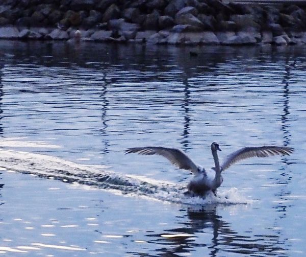 Nature Landing Bird Animal Themes Swan part 3 Animals In The Wild Flying Water Spread Wings Nature Lake Motion Waterfront Swimming No People Floating On Water Day Water Bird Outdoors Beauty In Nature Flapping