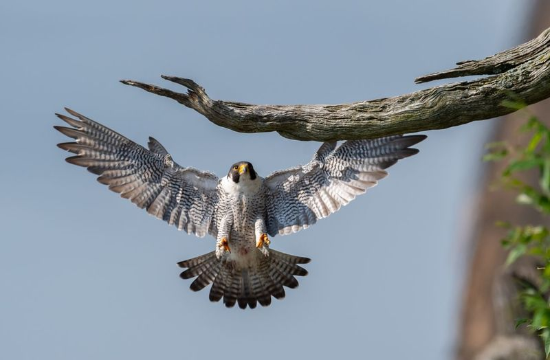Low angle view of bird landing on branch against clear sky