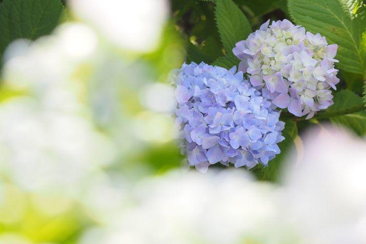 Photo Eye Em Nature Lover Flowers あじさい