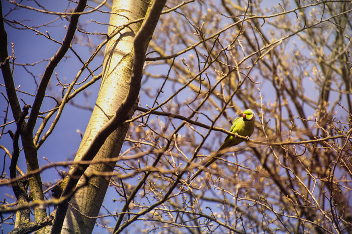 Parakeet perched in the spring sun Parakeet #branches #lookingup Sunshine Nature Wildlife Londons Parks Bird Perching Tree Branch Bare Tree Animal Themes Sky Twig Blooming In Bloom Petal Fragility Single Flower